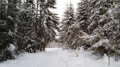 «Черный лесоруб» напилил деревьев на1,2 млн. руб. вКрасноярском крае